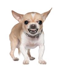 Chihuahua growling